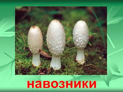 Навозник гриб от пьянства